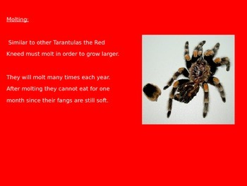 Red Legged Tarantula - Power Point Information Facts Pictures