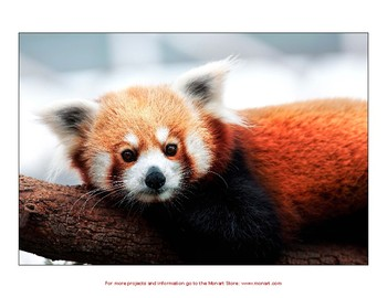Monart Drawing Project: Red Panda