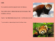 Red Panda - Power point endangered animal facts informatio