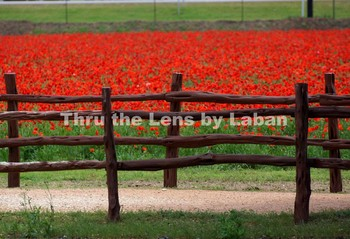 Red Poppies Flowers Stock Photo # 186