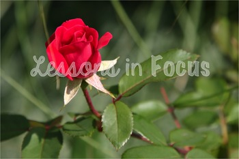 Red Rose Bud Close Up Photo