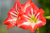 Red and White Lilys
