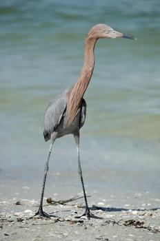 Reddish Egret at the Beach