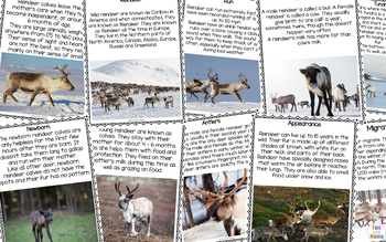 Reindeer Life Cycle and Caribou Animal Facts