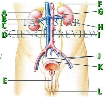 Urinary System Crossword with Diagram {Editable}