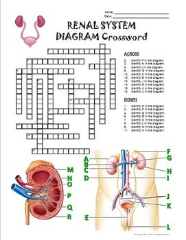 urinary system crossword with diagram editable by tangstar science. Black Bedroom Furniture Sets. Home Design Ideas
