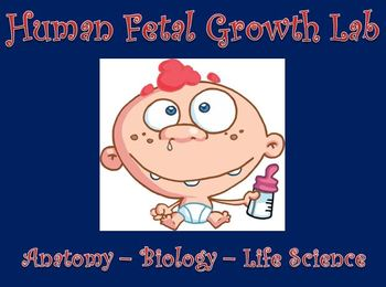 Reproductive System Human Fetal Growth Lab