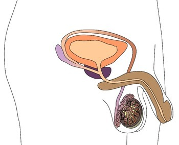 Reproductive System (Grades 6 to 12)