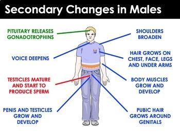 Reproductive System - Puberty, Organs, Menstrual Cycle, Fertilization, Pregnancy