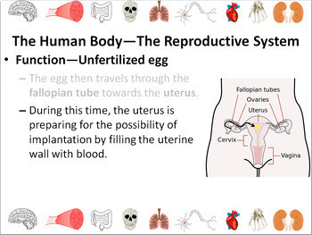 Human Body: Reproductive System Powerpoint Slide Show