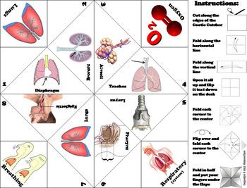Respiratory System Activity/ Foldable: Pharynx, larynx, trachea, bronchi etc.