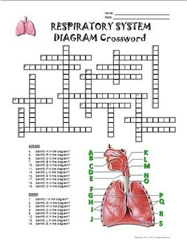 Respiratory    System    Crossword with    Diagram     Editable  by