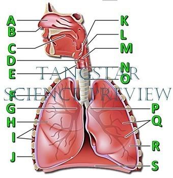 Respiratory System Crossword with Diagram {Editable}