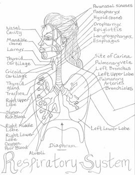 Respiratory System Diagram Poster