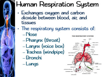Respiratory System Packet: PowerPoint, Student Guided Notes, Worksheet, Activity
