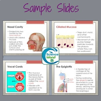 Respiratory System PowerPoint and Notes