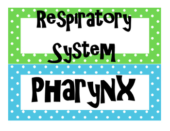 Respiratory System Word Wall for High School Anatomy