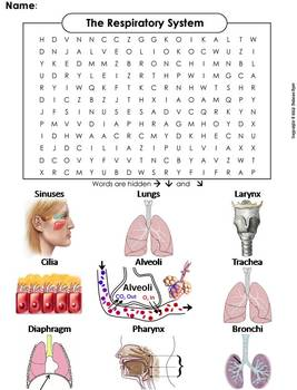 Human Body Systems Word Search: Respiratory System Worksheet