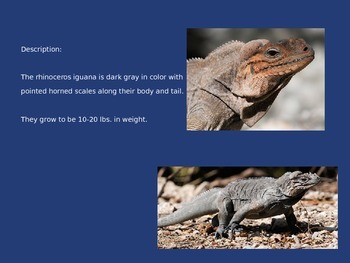 Rhinoceros Iguana - Power Point - Information Facts Pictures