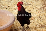 Rhode Island Red Rooster Stock Photo #220