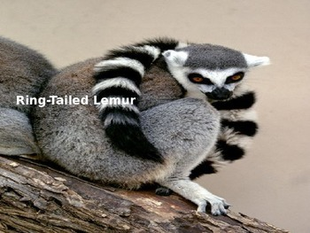 Ring Tailed Lemur - Power Point - Information Facts Pictures