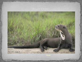River Otter - Power Point - information facts pictures history