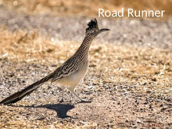 Road Runner - Power Point information facts pictures overview