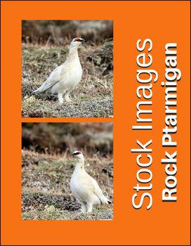 Rock Ptarmigan Photos - High Quality Images