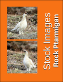 Rock Ptarmigan Photos - High Quality Images