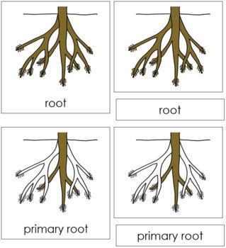 Root Nomenclature Cards