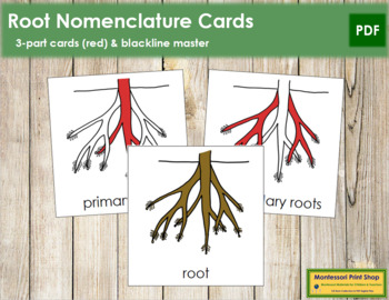 Root Nomenclature Cards (Red)
