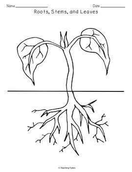 Roots Stems Leaves Biology Science Crossword Coloring Worksheet Middle School