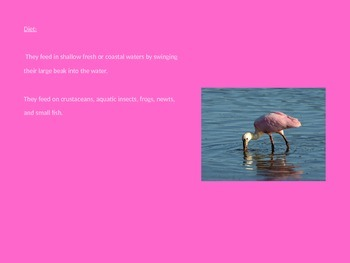 Roseate Spoonbill - Power Point - Information Facts Pictures