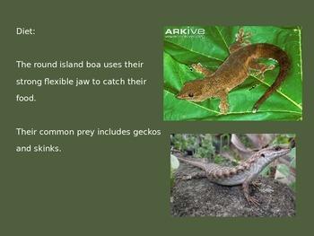 Round Island Boa - Rarest Python - Power Point Pictures Information