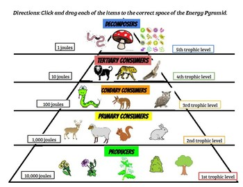 S7L4 Energy Pyramids and Trophic Levels Click and Drag Activity with Answers