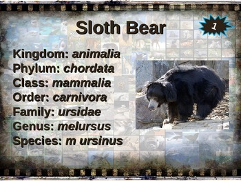 SLOTH BEAR: 10 facts, engaging PPT, links, free graphic organizer)