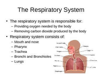 SNC2D Respiratory System PowerPoint