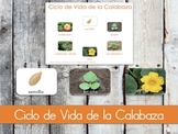 Ciclo de Vida de la Calabaza - Spanish Life Cycle of a Pumpkin (Montessori)