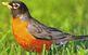 SPRING BIRDS: ROBINS Informational Text + 10 Literal Compr