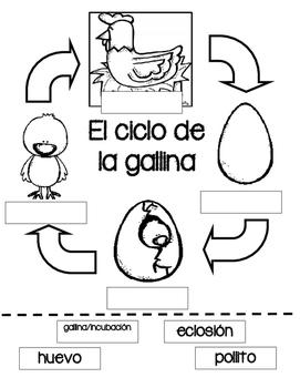 STEM en espanol:  Ciclo de Gallinas