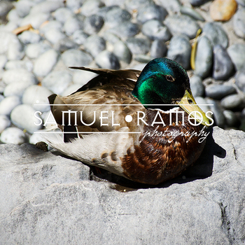 STOCK PHOTOS: Animal: Duck  [Personal & Commercial Use]