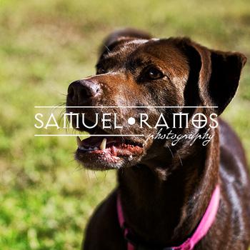 STOCK PHOTOS: Animal: Labrador Retriever Dog  [Personal & Commercial Use]