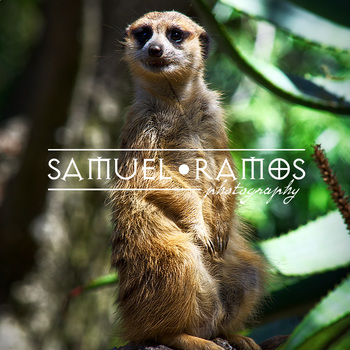 STOCK PHOTOS: Animal: Meerkat | Zoo Animal [Personal & Commercial Use]