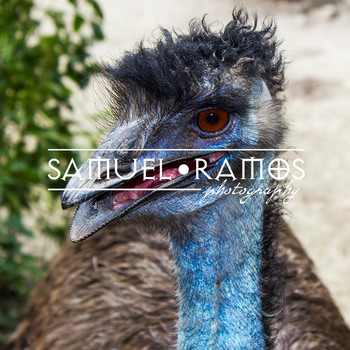 STOCK PHOTOS: Animal: Emu [Personal & Commercial Use]