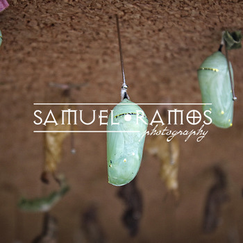 STOCK PHOTOS: Butterfly Life Cycle - Pupa [Personal & Commercial Use]