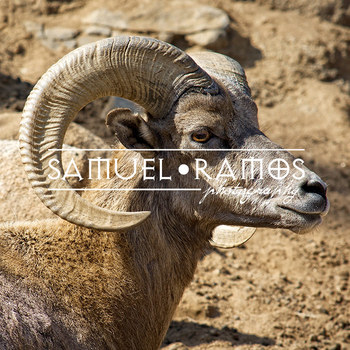 STOCK PHOTOS: Desert Bighorn Sheep - Zoo Animal [Personal & Commercial Use]