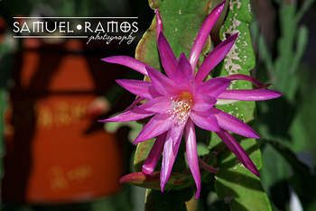 STOCK PHOTOS: Epiphyllum Orchid Cactus Plants [Personal & Commercial Use]
