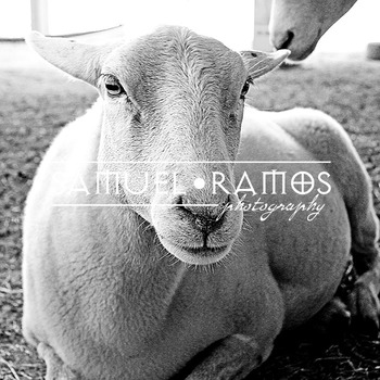 STOCK PHOTOS: Goat [Personal & Commercial Use]