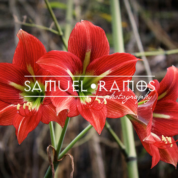 STOCK PHOTOS: Red Flowers [Personal & Commercial Use] *FREEBIE*