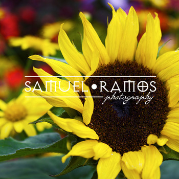 STOCK PHOTOS: Sunflower [Personal & Commercial Use]